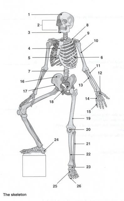 Solved: Name The Movement Of The Skeleton Below. What Plan