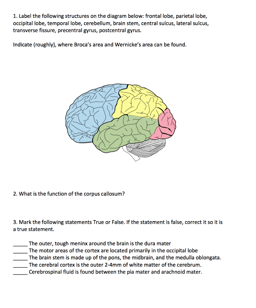 hight resolution of solved 1 label the following structures on the diagram b diagram of the occipital lobe