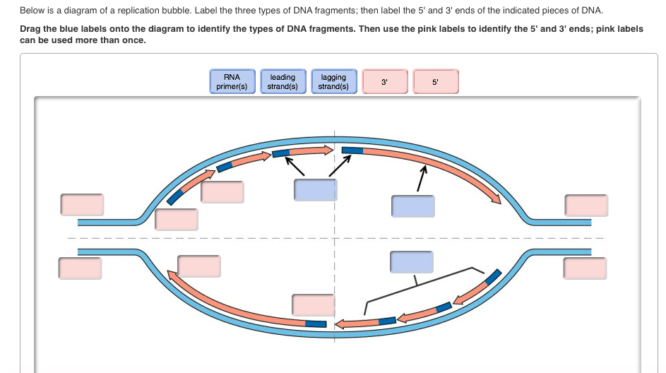 Dna Replication Fork Diagram Labeled