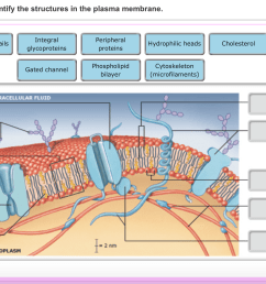 image for drag the labels onto the diagram to identify the structures in the plasma membrane [ 1910 x 958 Pixel ]