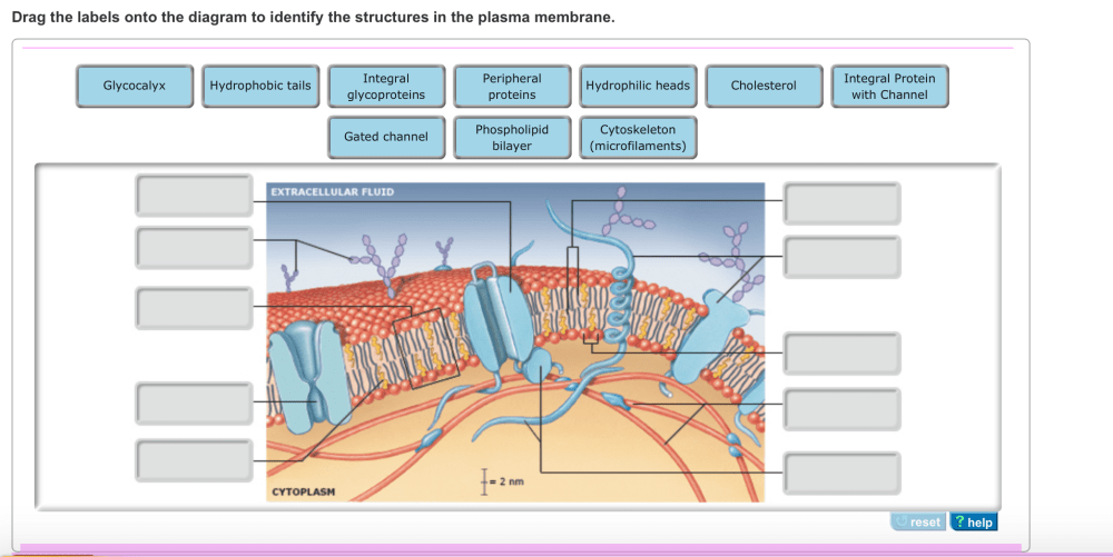 medium resolution of image for drag the labels onto the diagram to identify the structures in the plasma membrane