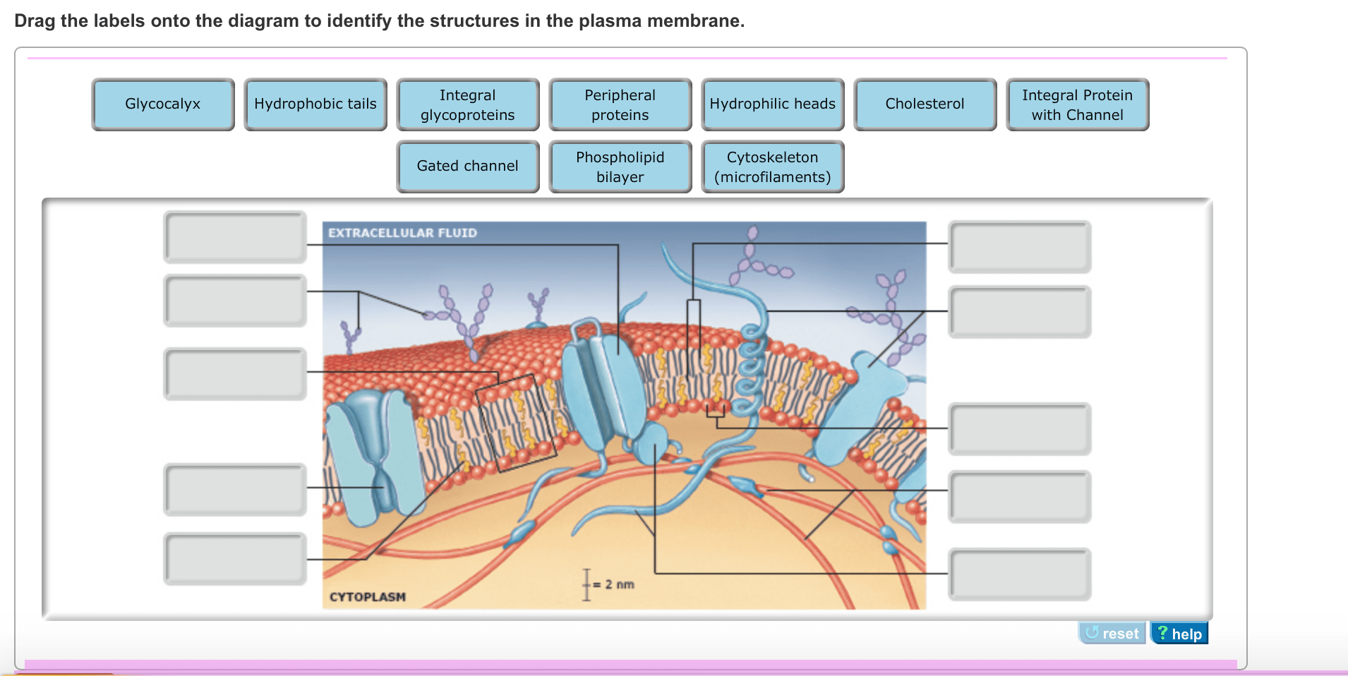 hight resolution of image for drag the labels onto the diagram to identify the structures in the plasma membrane
