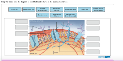 small resolution of image for drag the labels onto the diagram to identify the structures in the plasma membrane
