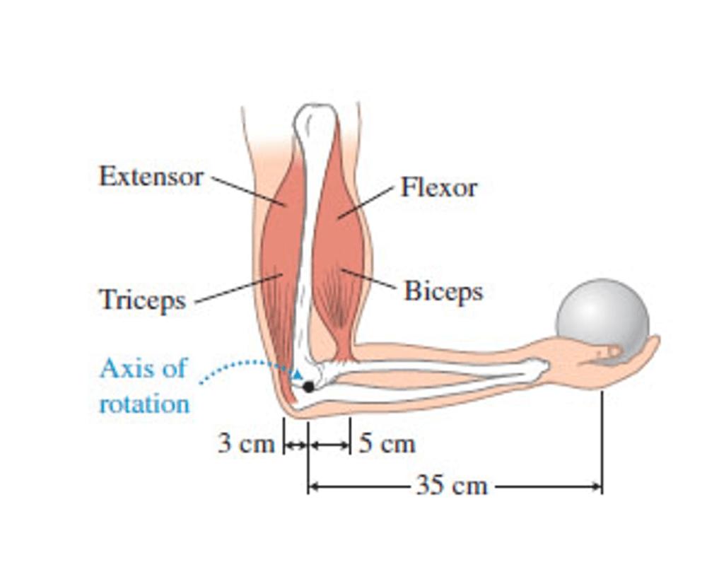 medium resolution of extensor flexor triceps biceps axis of rotation 3 cm5 cm 35 cm