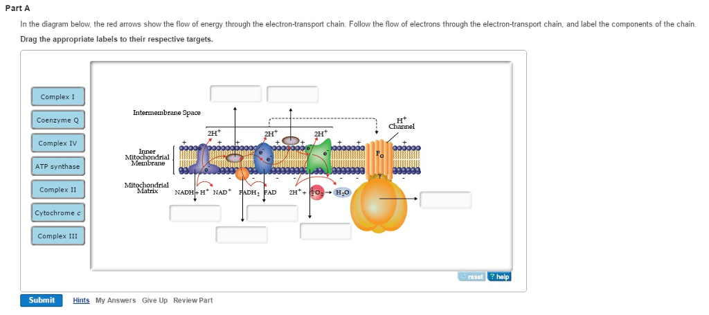 electron transport chain diagram for dummies 208 230 volt wiring solved in the below red arrows show flow