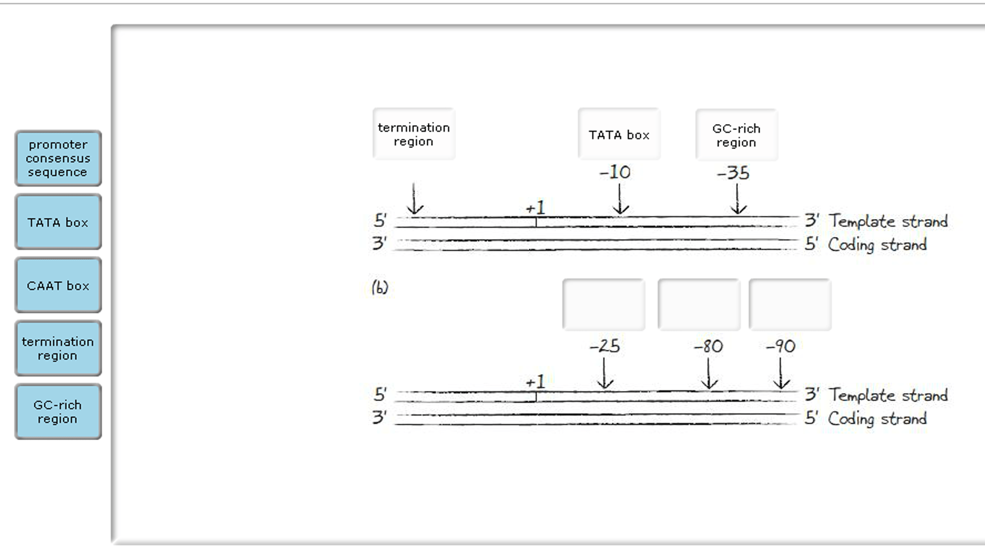 hight resolution of the diagram below shows a dna duplex the template