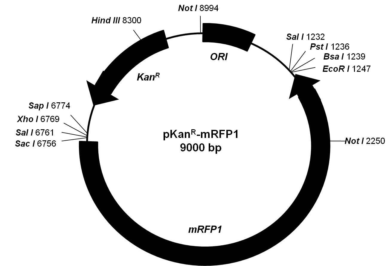 Solved A Student Sub Cloned The Mrfp1 Gene From Pkanr Mrf