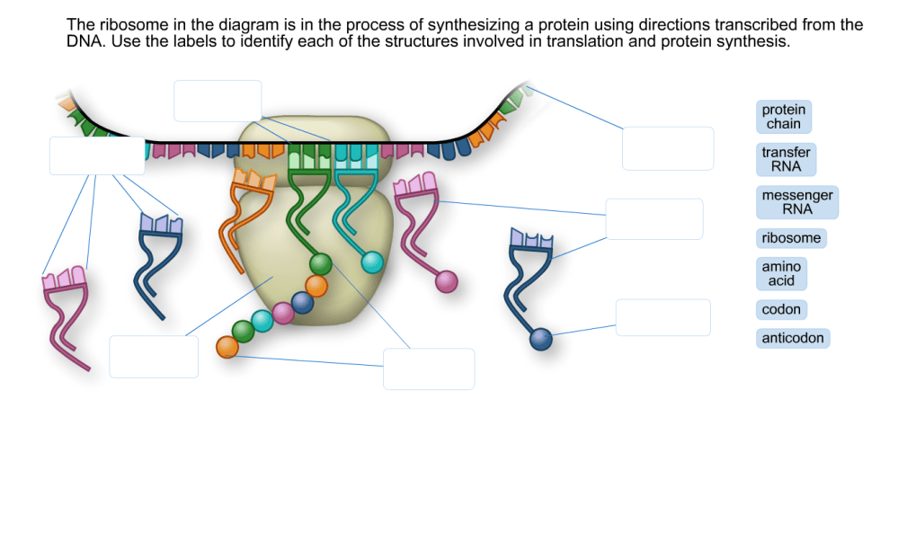 medium resolution of question the ribosome in the diagram is in the process of synthesizing a protein using directions transcri