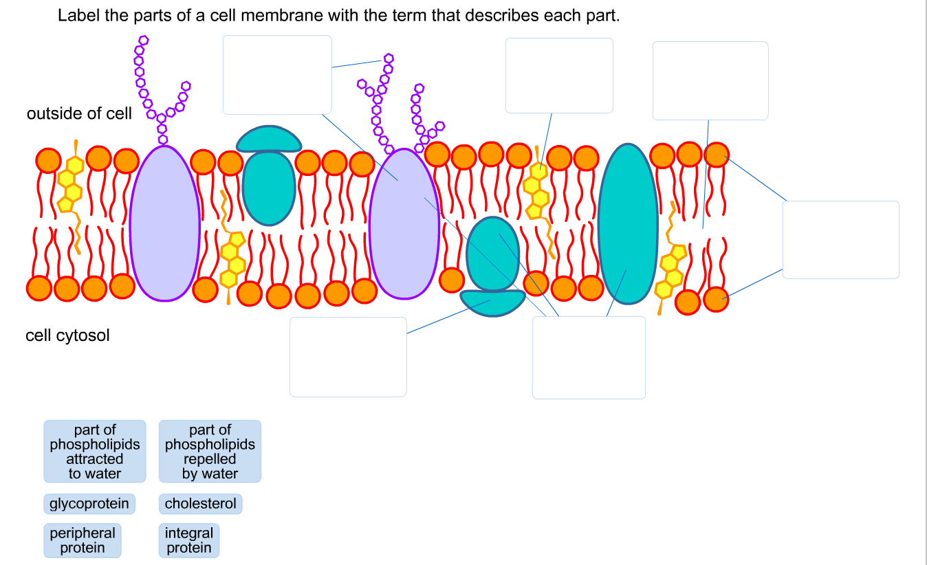 Solved Label The Parts Of A Cell Membrane With The Term T