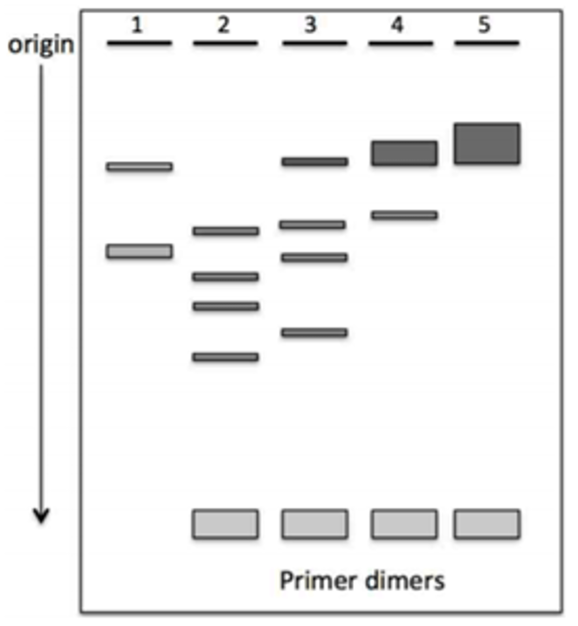 Solved The Diagram Is An Agarose Gel Profile Of Fragments