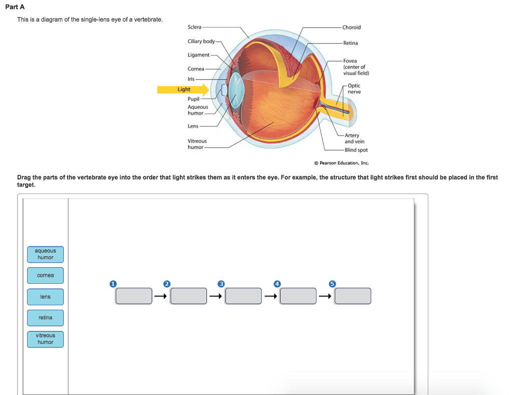 Solved Part A This Is A Diagram Of The Single Lens Eye Of