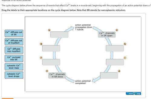 small resolution of image for the cycle diagram below shows the sequence of events that affect ca 2