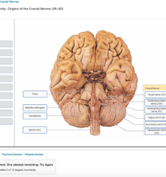 question the brain and cranial nerves art labeling activity origins of the cranial nerves vii xii reset heip cranial nerves pons facial nerve vii  [ 1024 x 829 Pixel ]