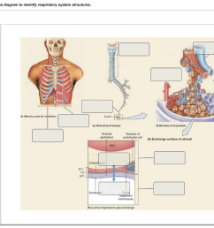 drag the labels onto the diagram to identify respiratory system structures reset help one of 80 [ 1024 x 796 Pixel ]