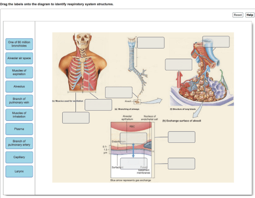 small resolution of drag the labels onto the diagram to identify respiratory system structures reset help one of 80
