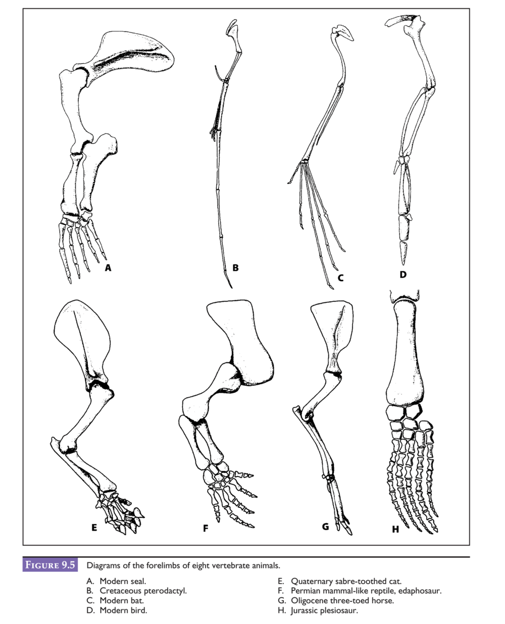 medium resolution of after examining the diagram of a human skeleton in figure 9 4 identify these same skeletal features homologous structures for each of the creatures in