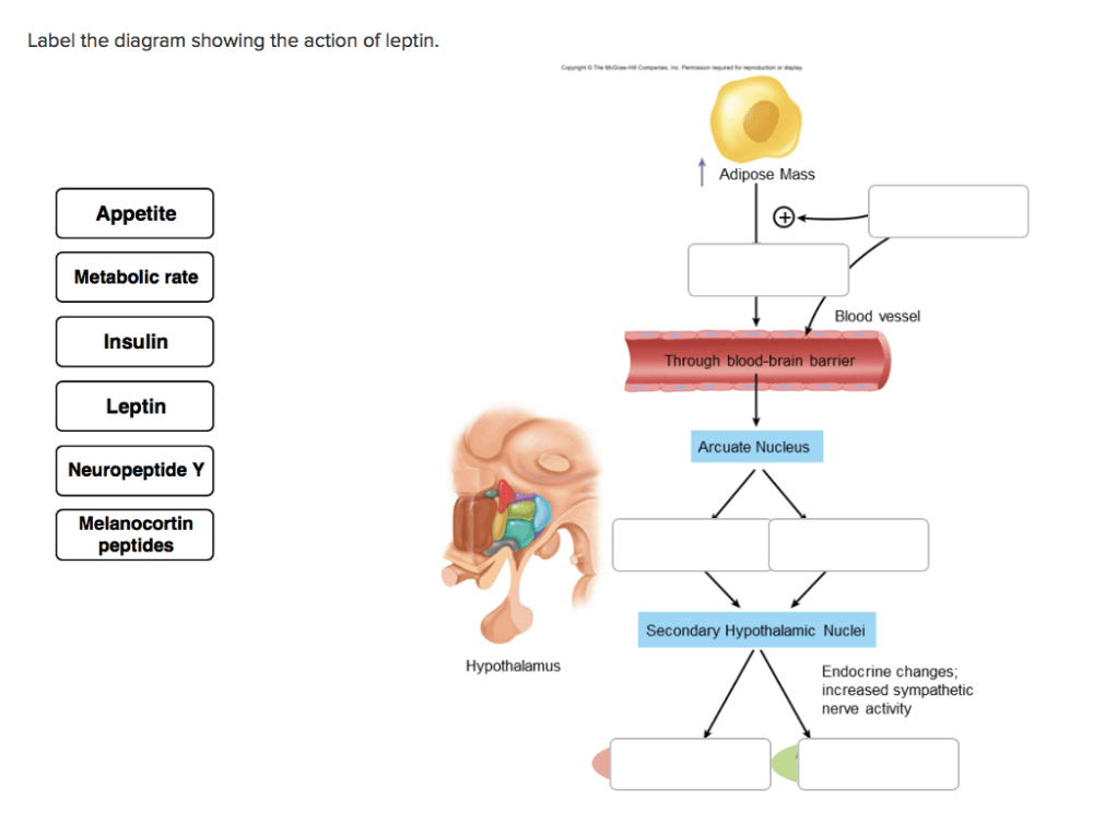 medium resolution of label the diagram showing the action of leptin adipose mass appetite metabolic rate blood vessel