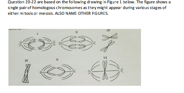 meiosis 1 diagram 1988 toyota pickup headlight wiring solved 20 which represents anaphase of