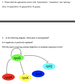 please label the appropriate arrows with transcription translation and splicing dna [ 948 x 1024 Pixel ]
