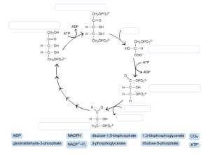Solved: Label The Diagram Of The Calvin Cycle Not All Lab