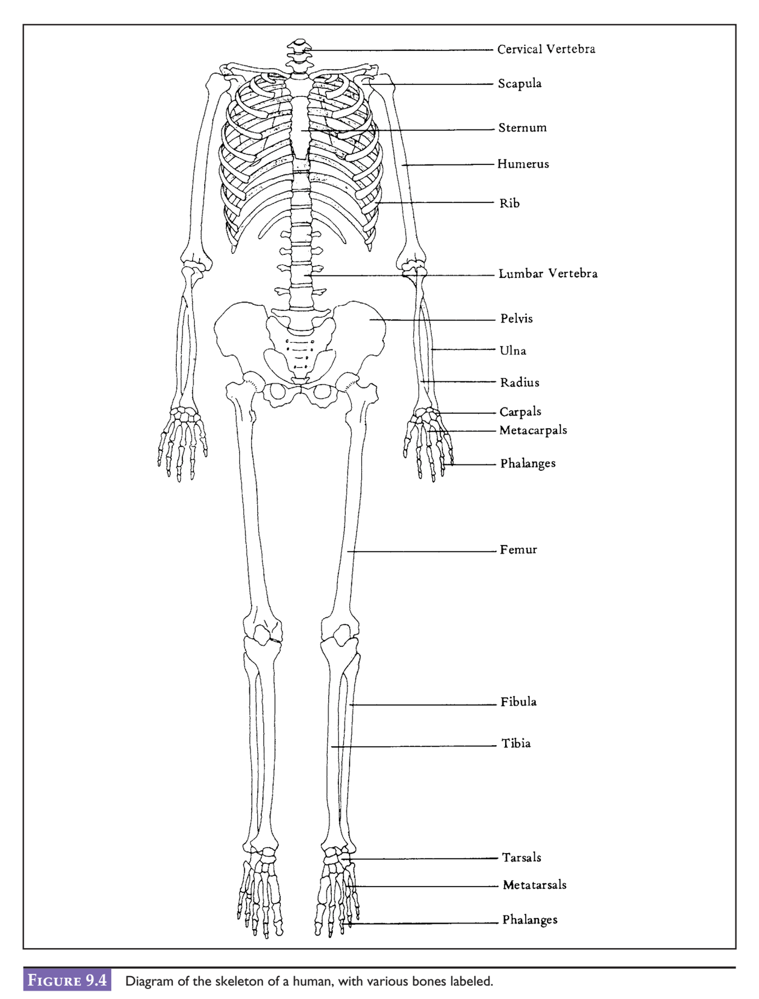 Solved: After Examining The Diagram Of A Human Skeleton In