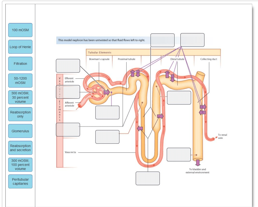 nephron diagram from a textbook stihl fs 44 parts solved drag the labels onto to identify s