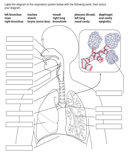 Solved: Label The Diagram Of The Respiratory System Below