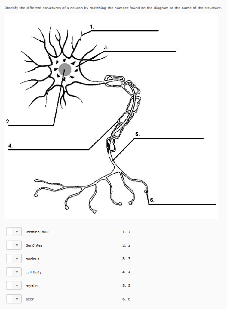 Solved: Identify The Different Structures Of A Neuron By M