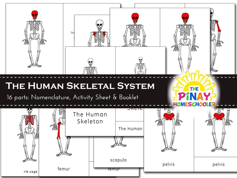 The Human Skeleton Pinay Homeschooler Shop