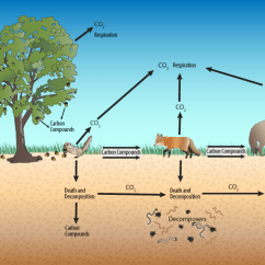Savanna Animal Food Chain Diagram Off Road Light Wiring 2a A Forest Carbon Cycle Terrestrial