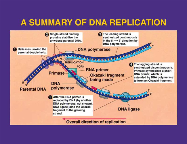 further Transcription  Translation and Replication besides Dna Rna Protein Synthesis Worksheet as well Protein synthesis worksheet   Steemit also  as well Worksheet On And Protein Synthesis Answer Key Fresh The Differences in addition KateHo » Awesome Dna Rna And Protein Synthesis Worksheet Answer Key together with Rna protein synthesisse further  in addition Chapter13 worksheets in addition Elegant Free Resume format Protein Synthesis and Amino Acid furthermore Messenger RNA Protein biosynthesis Amino acid Worksheet   worksheet also  besides  besides Protein Synthesis   Translation Homework ignment   Study Guide in addition Dna the Molecule Of Heredity Worksheet Inspirational Dna Rna Protein. on rna and protein synthesis worksheet