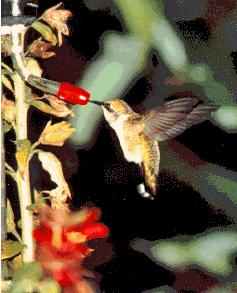 Le Chant Du Colibri Tirage : chant, colibri, tirage, Colibris