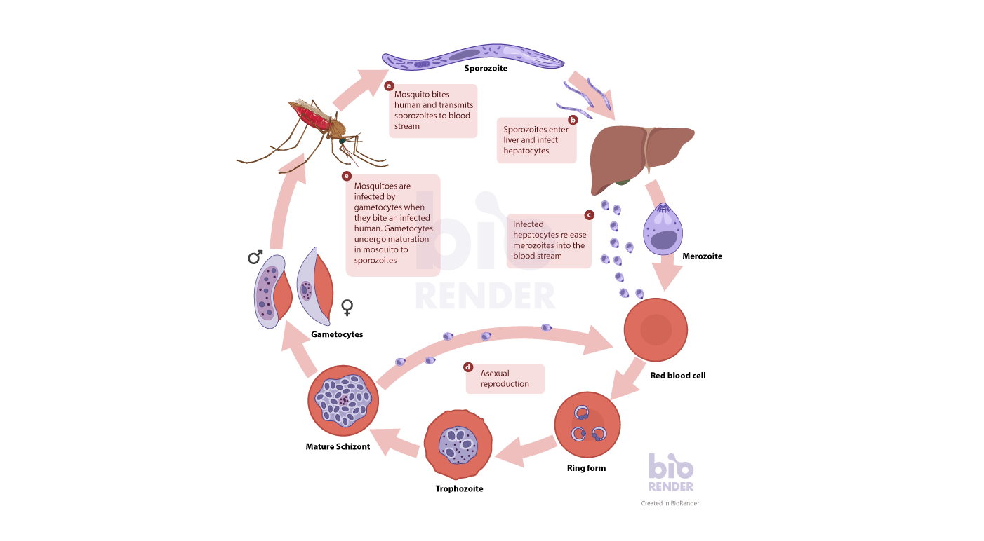 hight resolution of a simplified transmission cycle of malaria from biting a human to infection of a new