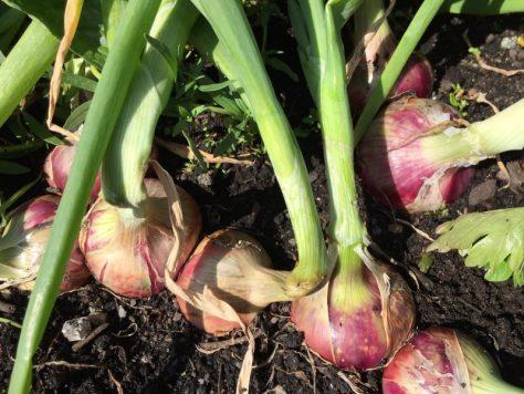 growing isobel onions