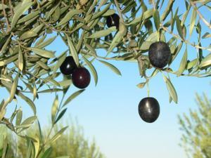 olivo_olive-wollombi.jpg