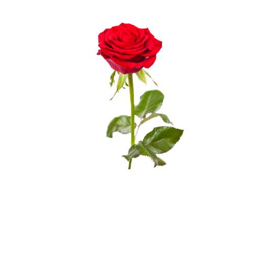 Rosen gnstig online kaufen  Mein Schner Garten Shop