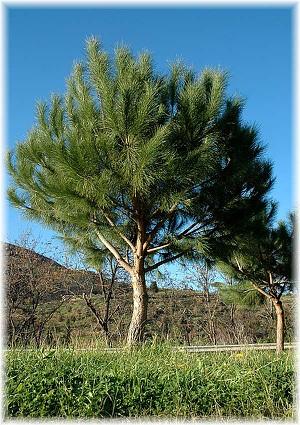 MittelmeerPinie Pinus pinea gnstig online kaufen  Mein
