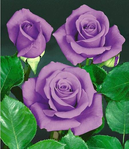 Rose Blue Saphir1 Pflanze gnstig online kaufen  Mein