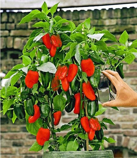 Veredelter Roter SnackPaprika1 Pflanze Capsicum annum