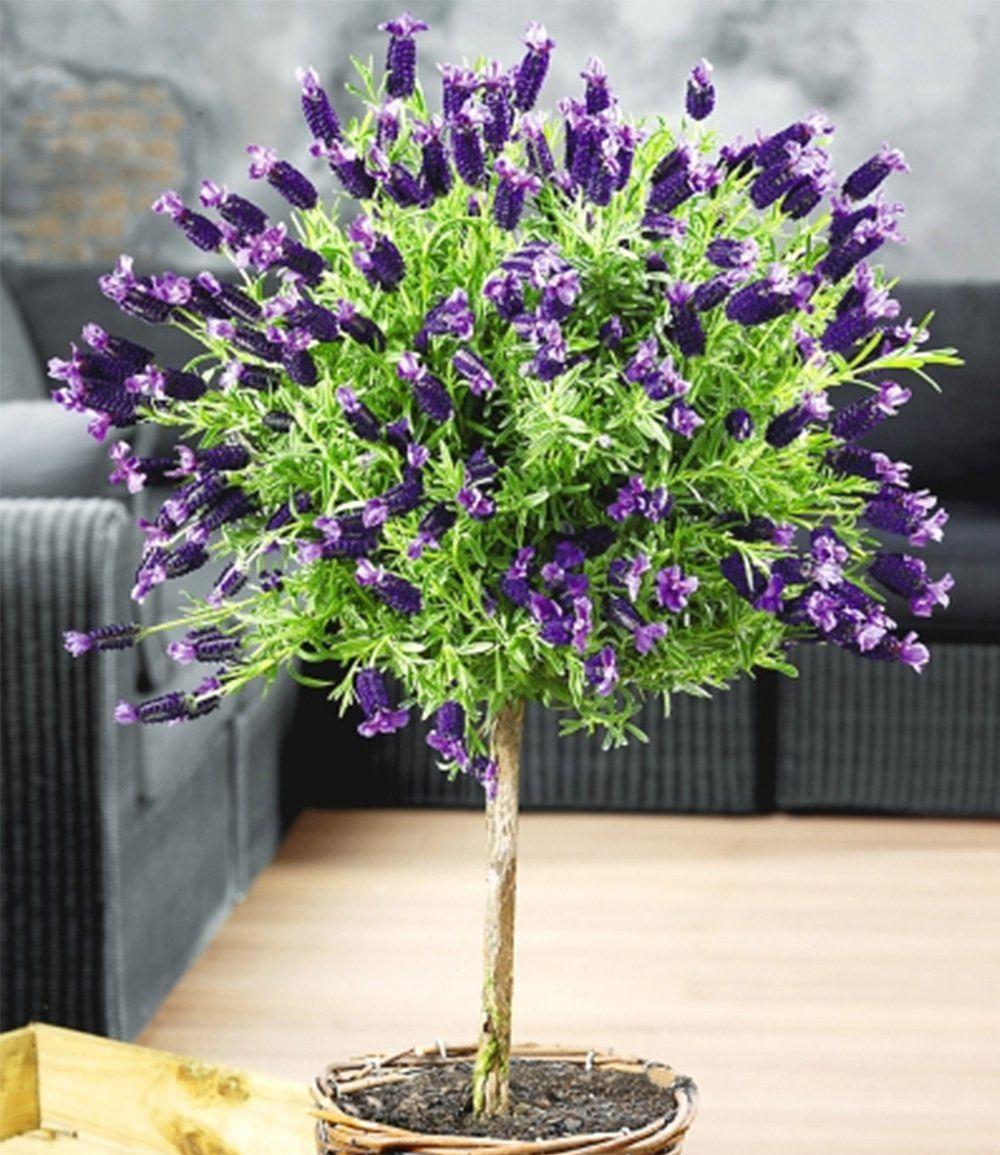 Lavendel Schneiden Mein Schöner Garten