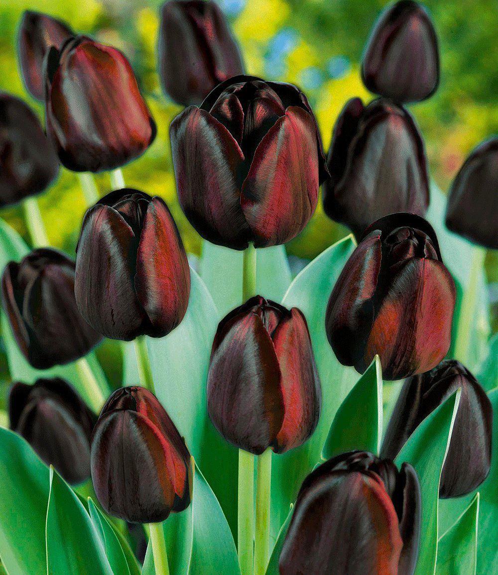 Tulpen Mehrjaehrig