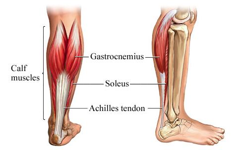 Image result for soleus and gastrocnemius muscle