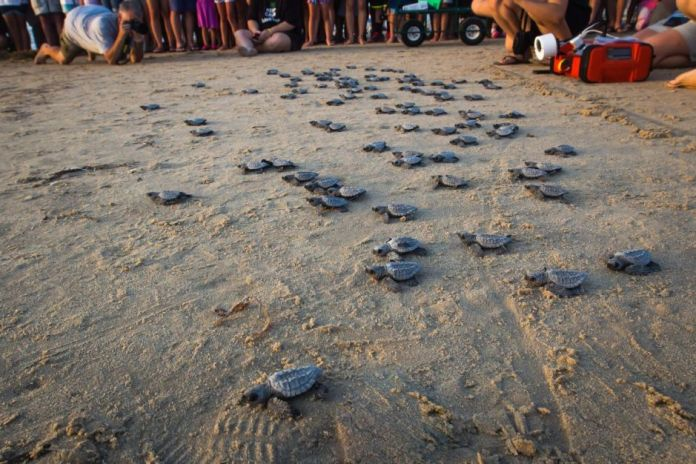 Sea Turtle Release South Padre Island