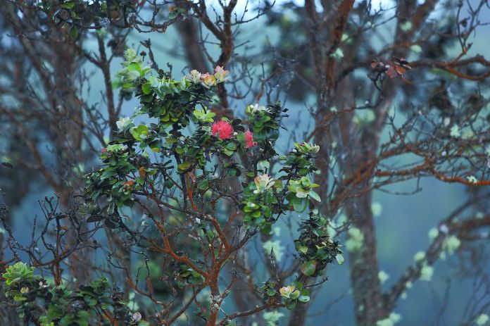 Beautiful trees emerge from the volcanic landscape in Hawaii Volcanoes National Park