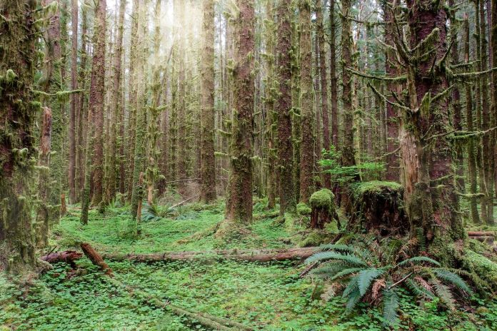 Hoh rainforest in Olympic National Park with sun shining through the trees