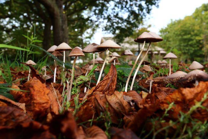 Magic Mushrooms growing wild in England during Autumn