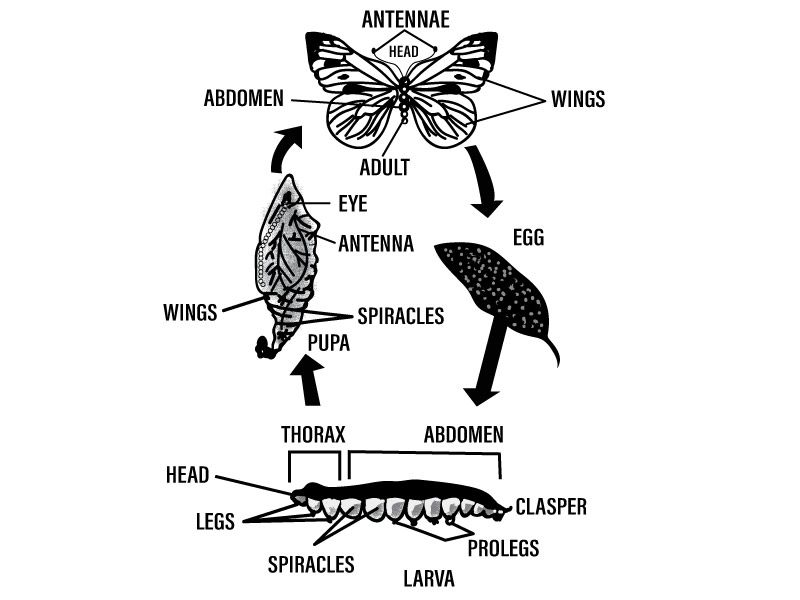 Practice Question Define the term metamorphosis Briefly