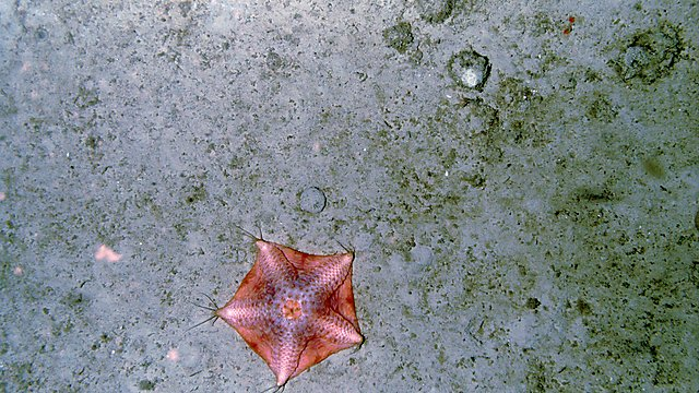 <p>A large starfish (possibly a species of the genus Hymenaster). This animal is rare and only seen a handful of times, which limits the amount of training material for the AI, making manual analysis more suited to measure its abundance<br></p>