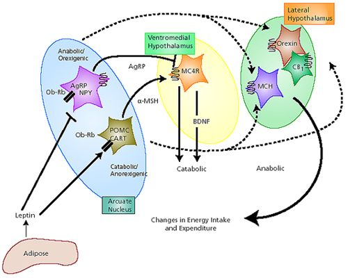 leptin-actions-downstream.jpg