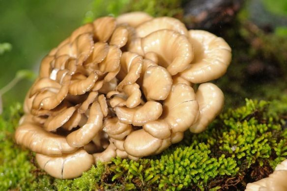 Maitake-Mushrooms.jpg